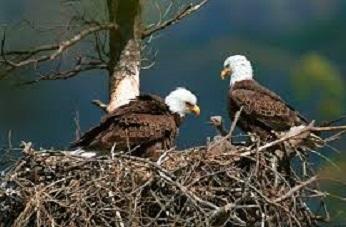 Eagles Nesting